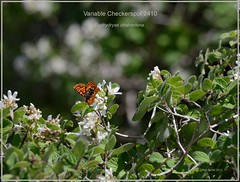 Variable Checkerspot Colorado Butterfly Photography by Ron Birrell; DSC_2410