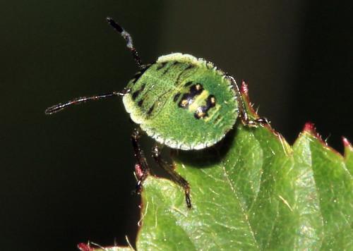 Green Shieldbug Nymphs 20044