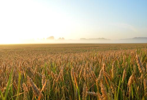 summer nature field fog landscape wheat latvia latvija daba lauks kvieši