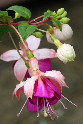 Fushia after the rain