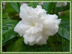 Tabernaemontana divaricata cv. Flore Pleno (Crepe Gardenia, Crepe Jasmine) with beautiful ruffled pure-white petals, Aug 13 2013