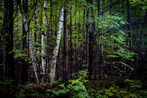 trees newyork woods upstate maryoliver whitebirch 2013 rennselaercounty westhoosickhills foghillroad fotofarmandbarnboogie