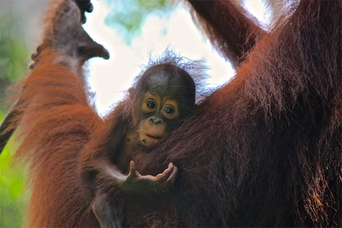 baby orangutan thought: but I just lost it!