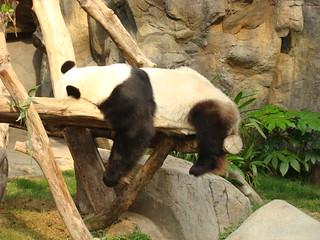 093 Reuze panda