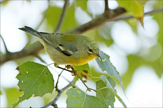 Northern Parula on Gray Birch