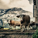My beloved swiss cows!! by Christine1744-