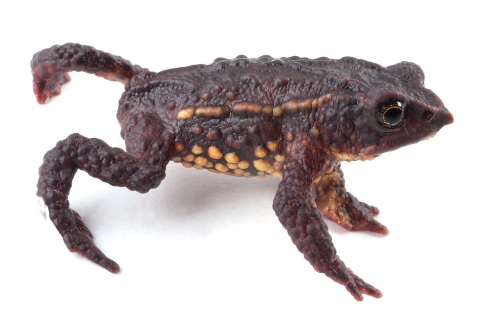 <i>Osornophryne bufoniformis</i> Osornosapo bufoniforme ♂