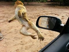 Macaque berbère en vol