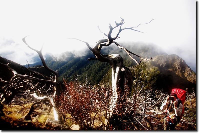 雪山南面坡白木林 2