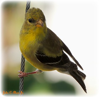 American Goldfinch-female