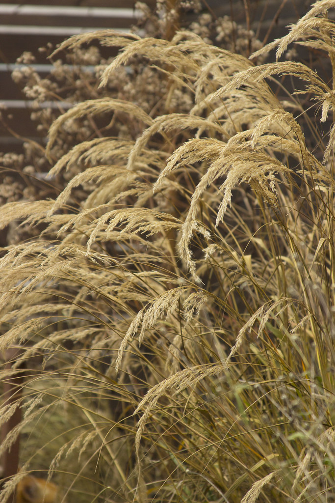 Achnatherum calamagrostis winter