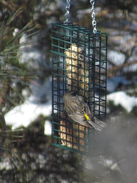 Yellow-rumped Warbler2 1:24:14