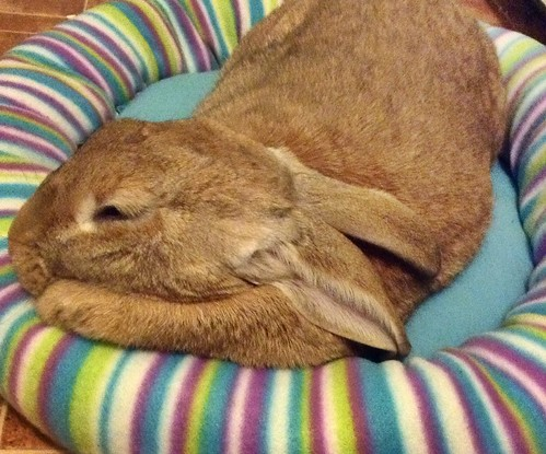 My flemish giant rabbit Harvey uses his excess fat as a pillow...genius!