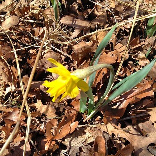 Hope springs eternal #daffodil #spring #ignoretheforecast