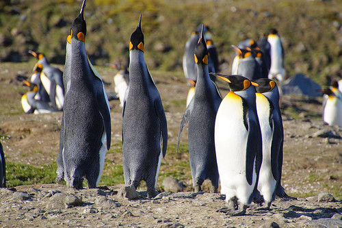 426 Koningspinguins