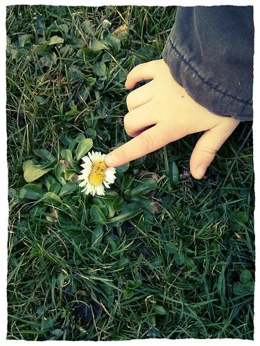 gigantic daisy