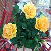 Mellow yellow! #yellowrose #rose #yellow