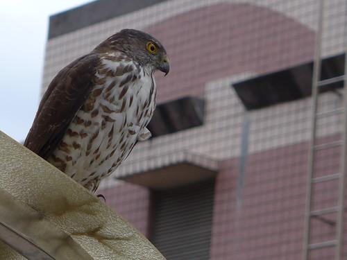 鳥陽台外飛來一隻老鷹