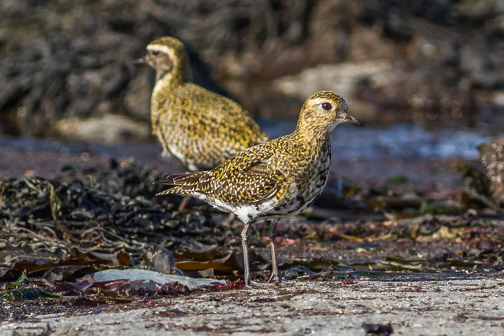 Heiðlóa / European Golden Plover  / vorboðinn mættur