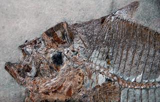Mene rhombea (fossil fish) (Middle Eocene; Italy) 3