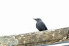 Blue Rock Thrush, Stow-on-the-Wold, Gloucestershire