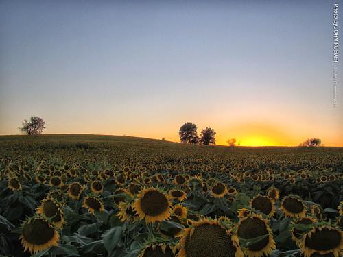 leavenworthcounty kansas usa 2016 september september2016 grinterfarms sunflower sunflowers sunflowerfield sunflowerfields rural country dusk aftersunset latesummer