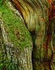Gardom's Edge Oak Detail, Velvia 50 5x4