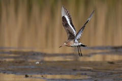 Black-tailed Godwit in flight 6622(6D2)