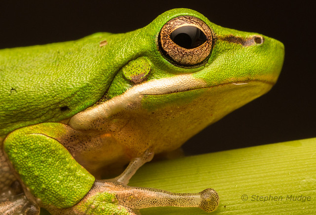 Sedge Frog Portrait