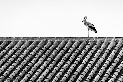 Spain - Cordoba - Pedroche - Stork