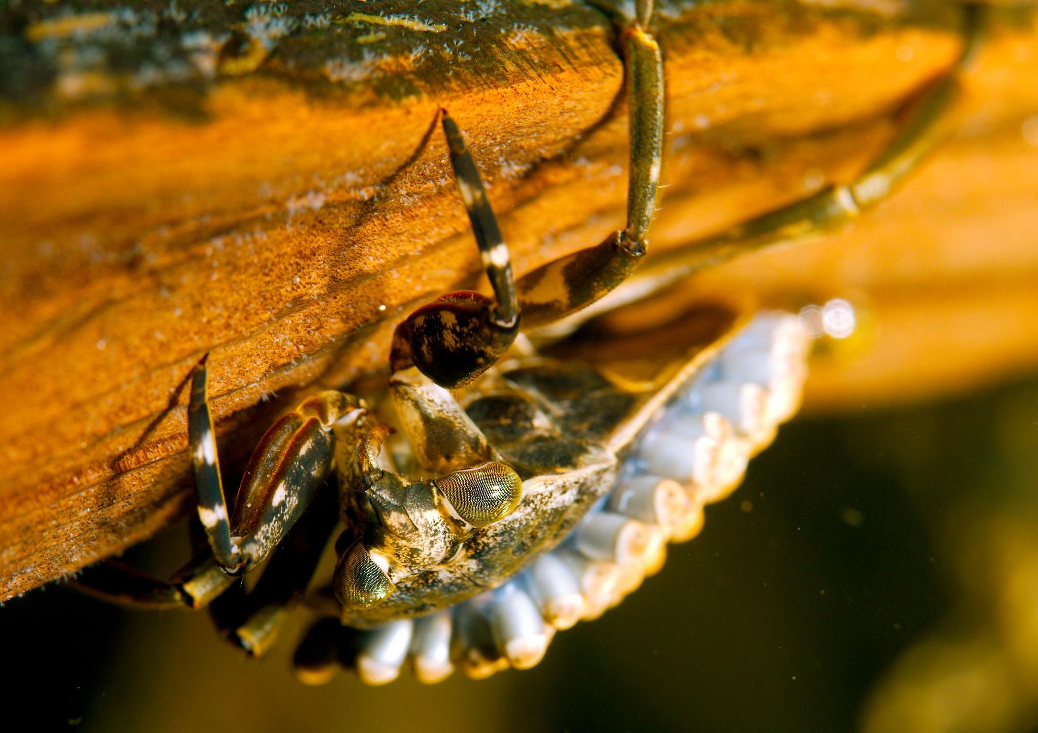 Giant Water Bug_1