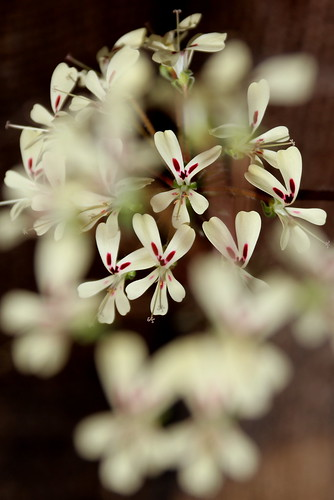 Pelargonium moniliforme