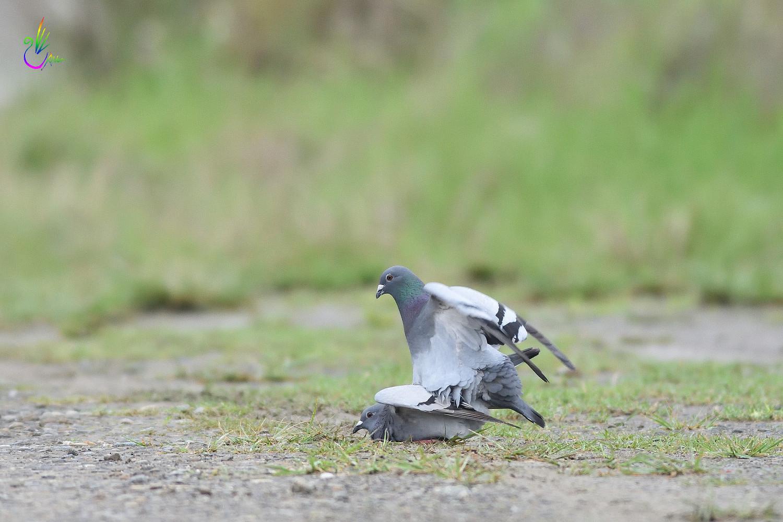 Pigeon_1901