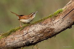 Carolina Wren on a log