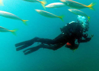 Diving with yellowtail