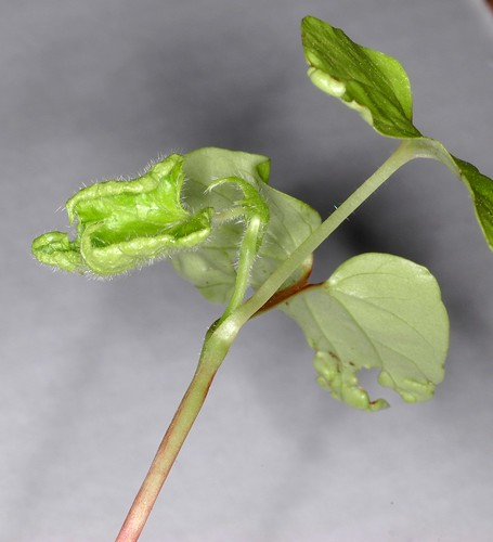 Ipomoea nil Q1099 Plant 5 by Gerris2