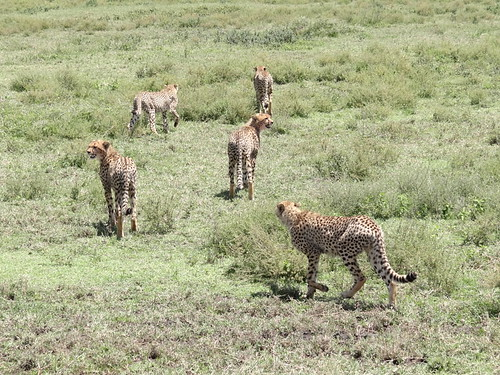 8936822189 44a0007bc1 Thomson Safaris Review: Our guides were fantastic