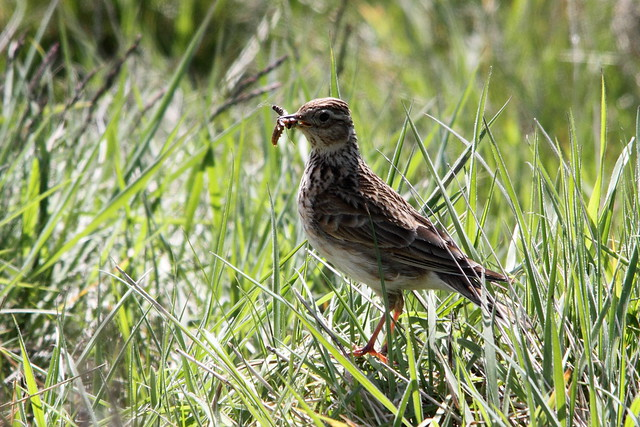 Skylark with food for young