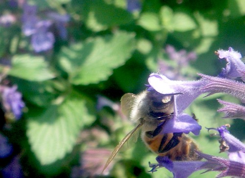 Honey bee drinking mint nectar at the music garden