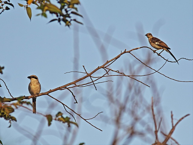 Shrike and mockingbird 20130723