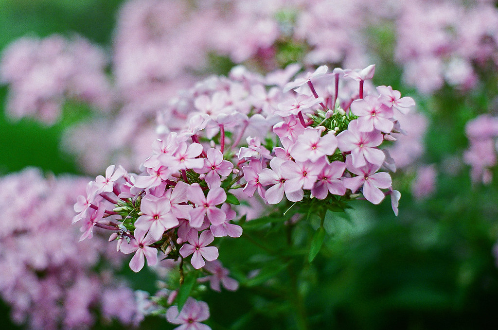 Phlox, I think