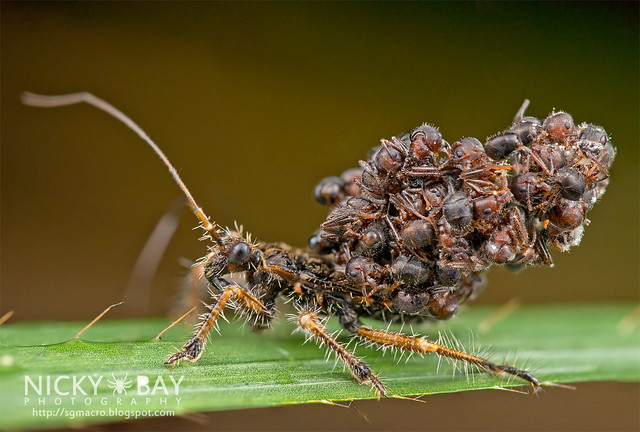 Ant-Snatching Assassin Bug (Acanthaspis sp.) - DSC_0750