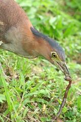 啄食蚯蚓高手黑冠麻鷺,喜愛中大型蚯蚓,看不上黃頸蜷蚓。(攝影:Peiwen Chang)