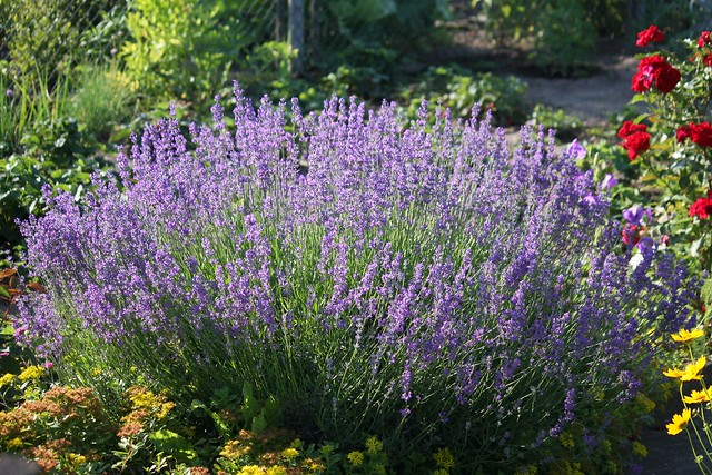 echter lavendel lavandula angustifolia flickr photo. Black Bedroom Furniture Sets. Home Design Ideas
