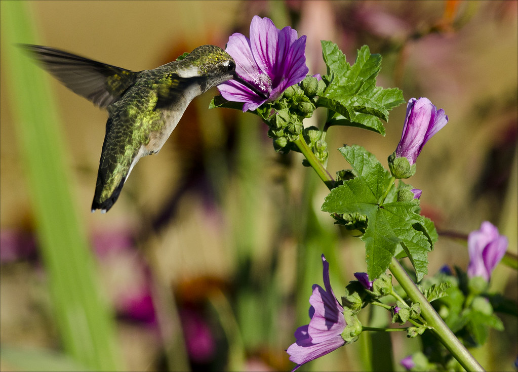 Hummingbird at zebra mallow 12