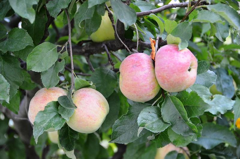 Apples 2013