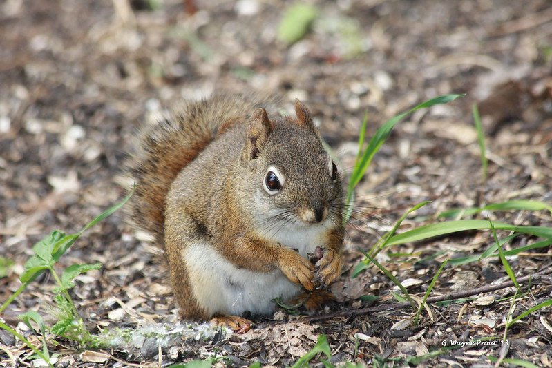 American Red Squirrel (Tamiasciurus hudsonicus) - Hersey Lake Conservation Area by Gerald (Wayne) Prout