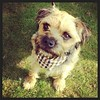 A very handsome #borderterrier at #chiswickdogshow in his new neckerchief