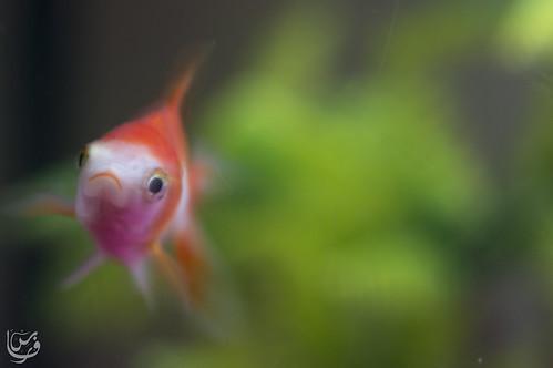 Gold fish (Hi!!)