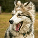 Small photo of Alaskan Malamute (freestock, read description)